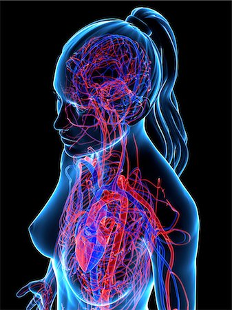 Cardiovascular system, computer artwork. Stock Photo - Premium Royalty-Free, Code: 679-05994607