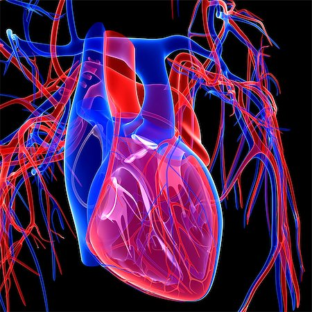 Cardiovascular system, computer artwork. Stock Photo - Premium Royalty-Free, Code: 679-05994663