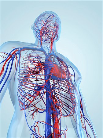 Cardiovascular system, computer artwork. Stock Photo - Premium Royalty-Free, Code: 679-05994732