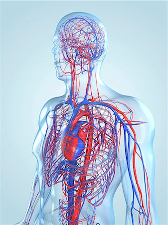 Cardiovascular system, computer artwork. Stock Photo - Premium Royalty-Free, Code: 679-05994744