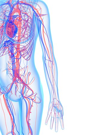 Cardiovascular system, computer artwork. Stock Photo - Premium Royalty-Free, Code: 679-05994773