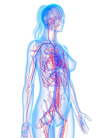 Cardiovascular system, computer artwork. Stock Photo - Premium Royalty-Free, Code: 679-05994815