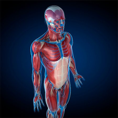 Male musculature, computer artwork. Stock Photo - Premium Royalty-Free, Code: 679-05995095