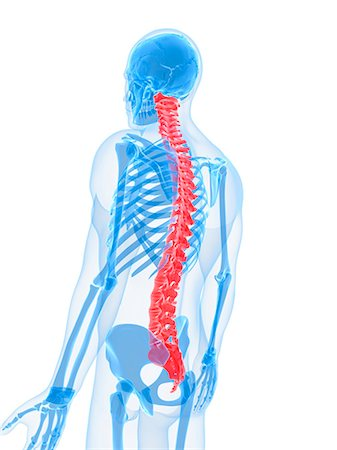 spinal column - Spine, computer artwork. Stock Photo - Premium Royalty-Free, Code: 679-05995421