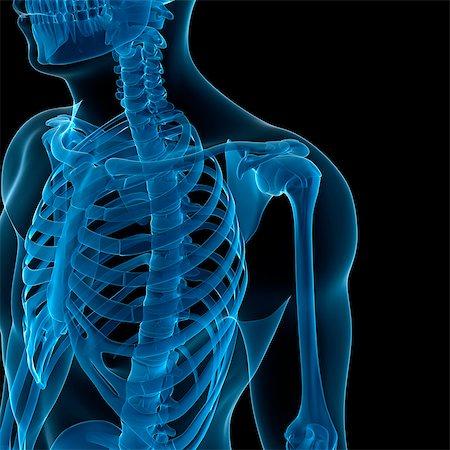 rib - Upper body bones, computer artwork. Stock Photo - Premium Royalty-Free, Code: 679-05995437