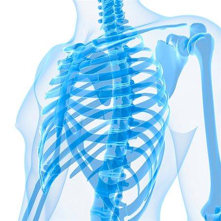 rib - Upper body bones, computer artwork. Stock Photo - Premium Royalty-Free, Code: 679-05995447
