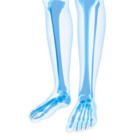 Leg bones, computer artwork. Stock Photo - Premium Royalty-Free, Code: 679-05995457
