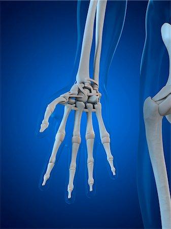 Hand bones, computer artwork. Stock Photo - Premium Royalty-Free, Code: 679-05995465