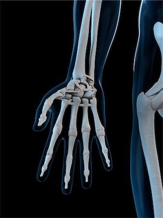 Hand bones, computer artwork. Stock Photo - Premium Royalty-Free, Code: 679-05995466