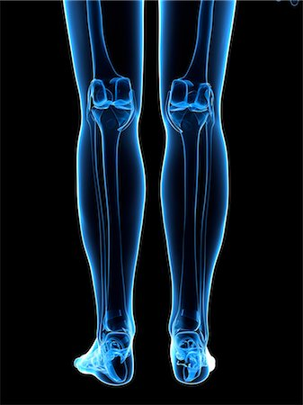 Leg bones, computer artwork. Stock Photo - Premium Royalty-Free, Code: 679-05995460