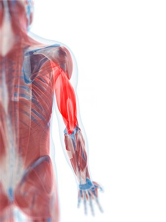 Triceps muscle, computer artwork. Stock Photo - Premium Royalty-Free, Code: 679-05996110