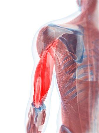 Biceps muscle, computer artwork. Stock Photo - Premium Royalty-Free, Code: 679-05996132