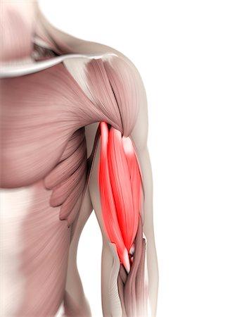 Biceps muscle, computer artwork. Stock Photo - Premium Royalty-Free, Code: 679-05996197