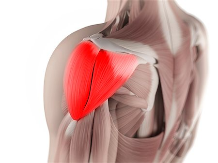 Deltoid muscle, computer artwork. Stock Photo - Premium Royalty-Free, Code: 679-05996191