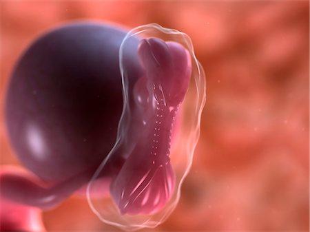 Foetus at 5 weeks, computer artwork. Stock Photo - Premium Royalty-Free, Code: 679-05996561