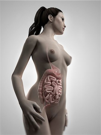 Healthy digestive system, computer artwork. Stock Photo - Premium Royalty-Free, Code: 679-06198824
