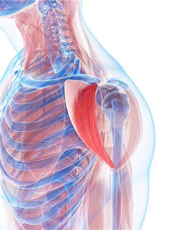 Shoulder muscles, computer artwork. Stock Photo - Premium Royalty-Free, Code: 679-06198941