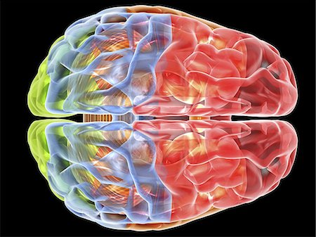 Human brain anatomy. Computer artwork showing a top view of the human brain. The following regions can be seen: frontal lobe (red), parietal lobe (blue), occipital lobe (green), temporal lobe (orange), cerebellum (brown). Stock Photo - Premium Royalty-Free, Code: 679-06199175
