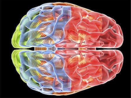 Human brain anatomy. Computer artwork showing a top view of the human brain. The following regions can be seen: frontal lobe (red), parietal lobe (blue), occipital lobe (green), temporal lobe (orange), cerebellum (brown). Stock Photo - Premium Royalty-Free, Code: 679-06199175
