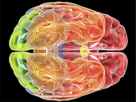 Human brain anatomy. Computer artwork showing a bottom view of the human brain. The following regions can be seen: frontal lobe (red), parietal lobe (blue), occipital lobe (green), temporal lobe (orange), cerebellum (brown). Stock Photo - Premium Royalty-Free, Code: 679-06199177