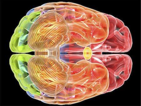 Human brain anatomy. Computer artwork showing a bottom view of the human brain. The following regions can be seen: frontal lobe (red), parietal lobe (blue), occipital lobe (green), temporal lobe (orange), cerebellum (brown). Stock Photo - Premium Royalty-Free, Code: 679-06199177