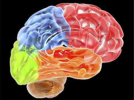 Human brain anatomy. Computer artwork showing a side view of a human brain. The front of the brain is at right. The following regions can be seen: frontal lobe (red), parietal lobe (blue), occipital lobe (green, left), temporal lobe (orange), cerebellum (brown). Stock Photo - Premium Royalty-Free, Code: 679-06199180