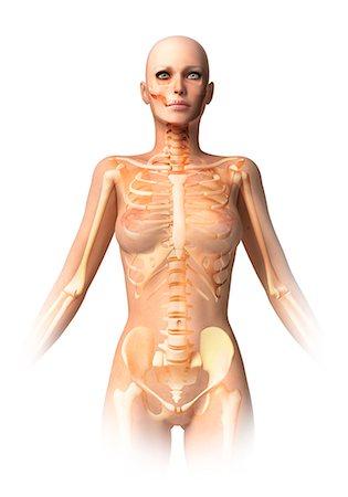 Female skeleton, computer artwork. Stock Photo - Premium Royalty-Free, Code: 679-06674094
