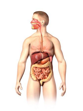 Organ under hte right breast