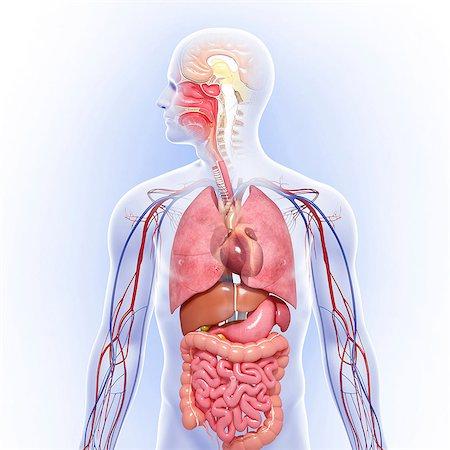 Human anatomy, computer artwork. Stock Photo - Premium Royalty-Free, Code: 679-06674552