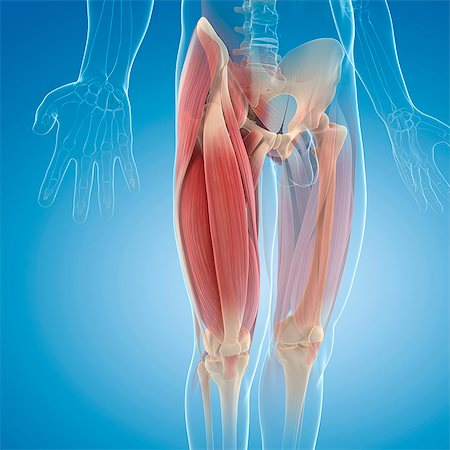 Upper leg muscles, computer artwork. Stock Photo - Premium Royalty-Free, Code: 679-06672411