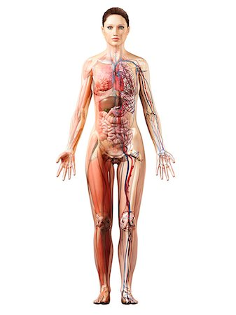 Female anatomy, computer artwork. Stock Photo - Premium Royalty-Free, Code: 679-06672617