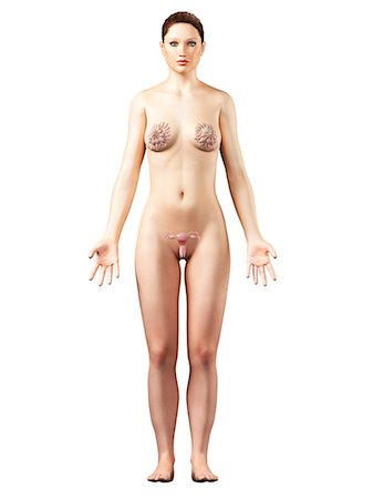 female nud - Female reproductive system, computer artwork. Stock Photo - Premium Royalty-Free, Code: 679-06672631