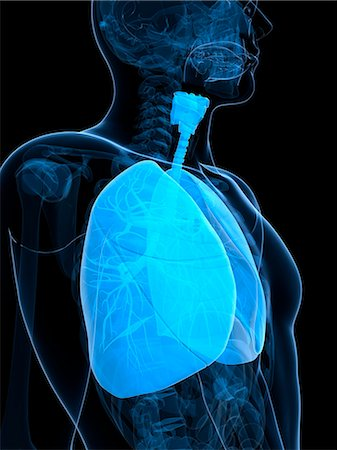 Healthy lungs, computer artwork. Stock Photo - Premium Royalty-Free, Code: 679-06673414