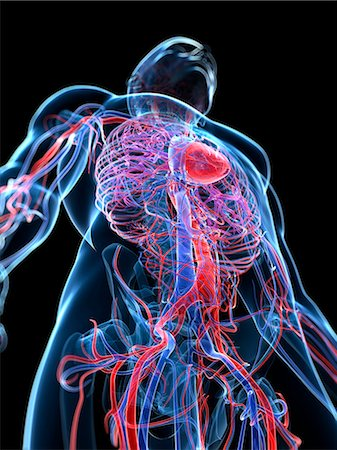 Male cardiovascular system, computer artwork. Stock Photo - Premium Royalty-Free, Code: 679-06673489