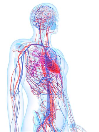 Male cardiovascular system, computer artwork. Stock Photo - Premium Royalty-Free, Code: 679-06673505