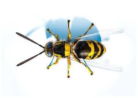 Hornet (Vespa sp.), computer artwork. Stock Photo - Premium Royalty-Free, Code: 679-06673895