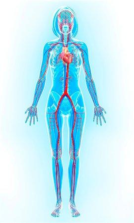 Cardiovascular system, computer artwork. Stock Photo - Premium Royalty-Free, Code: 679-06711480