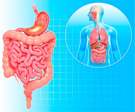 Healthy digestive system, computer artwork. Stock Photo - Premium Royalty-Free, Code: 679-06711512