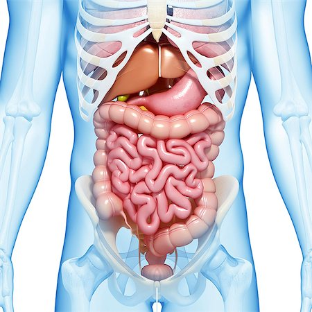 Male digestive system, computer artwork. Stock Photo - Premium Royalty-Free, Code: 679-06711524