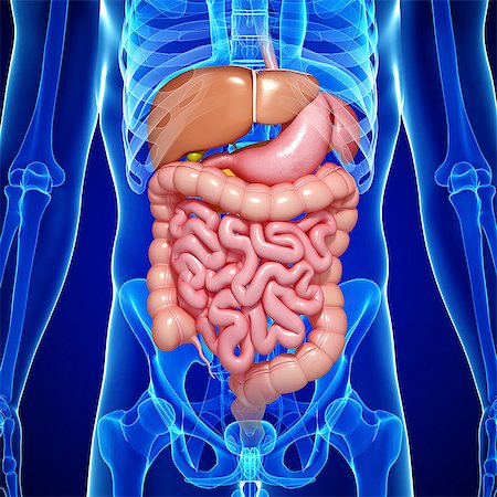 Male digestive system, computer artwork. Stock Photo - Premium Royalty-Free, Code: 679-06711527