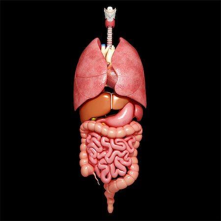 Human organs, computer artwork. Stock Photo - Premium Royalty-Free, Code: 679-06711673