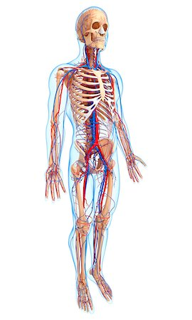 Cardiovascular system, computer artwork. Stock Photo - Premium Royalty-Free, Code: 679-06711753