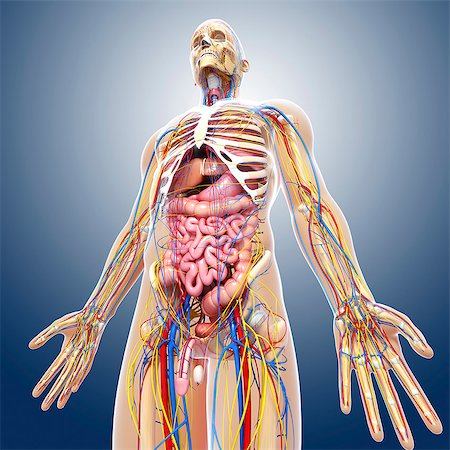 rib - Male anatomy, computer artwork. Stock Photo - Premium Royalty-Free, Code: 679-06712054
