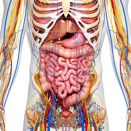 Abdominal anatomy, computer artwork. Stock Photo - Premium Royalty-Free, Code: 679-06712196