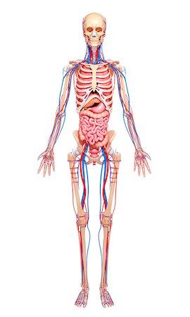 rib - Human anatomy, computer artwork. Stock Photo - Premium Royalty-Free, Code: 679-06712256