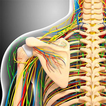 rib - Shoulder anatomy, computer artwork. Stock Photo - Premium Royalty-Free, Code: 679-06712523