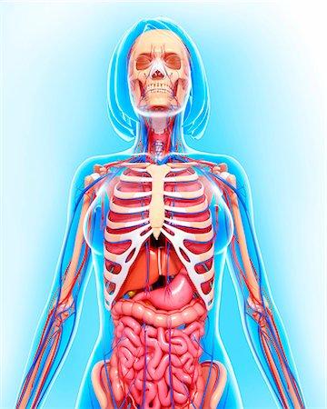 rib - Female anatomy, computer artwork. Stock Photo - Premium Royalty-Free, Code: 679-06713074