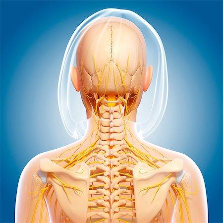 rib - Upper body anatomy, computer artwork. Stock Photo - Premium Royalty-Free, Code: 679-06713579