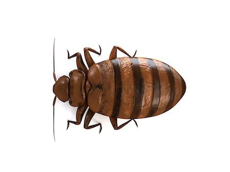 Bedbug (Cimex sp.), computer artwork. Stock Photo - Premium Royalty-Free, Code: 679-06754224
