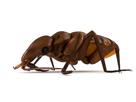 Bedbug (Cimex sp.), computer artwork. Stock Photo - Premium Royalty-Free, Code: 679-06754225